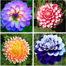 50pcs/bag dahlia,dahlia flower Mixed Colors Dahlias Seeds For DIY Home Garden free shipping(China)