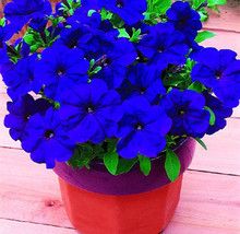 200pc/lot free shipping Morning glory seeds petulantly seeds balcony bonsai flower petunia set