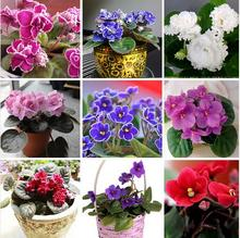 Hot Sale Variety Colors Violet Seeds Red Blue Purple White Violet Flowers Perennial Herb Matthiola Incana 100PCS