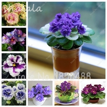100pcs/bag,African Violet Seeds,Potted Plant ,Mixed colors Flower Seed,Mini Bonsai Seeds, Natural Growth,The Budding rate 95%,