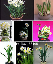 daffodil seed, home balcony potted daffodils seeds, narcissus flower seeds 100 particles / bag(China)
