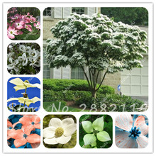 20 Pcs Bougainvillea Kousa Dogwood Seeds Resistance To Low Temperature Novel Ornamental Plant Beautiful Flowers Ornamental Decor(China)
