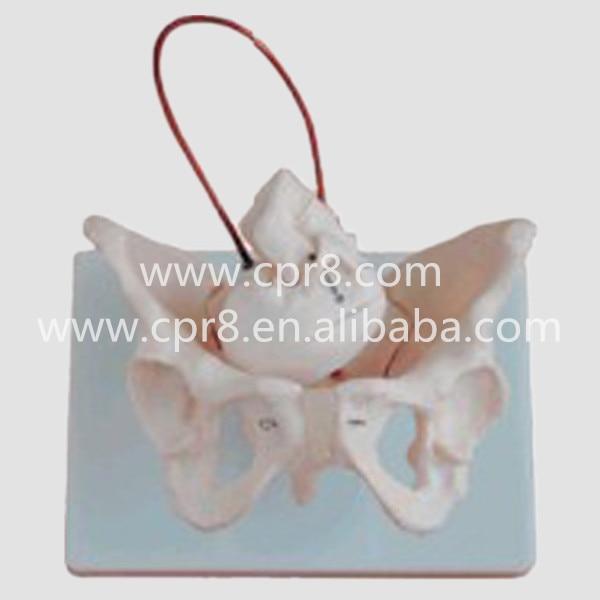 BIX-A1026 Woman Pelvis Model And Fetal Skull And Midwifery Bone Model  MQ096<br>