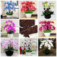 Phalaenopsis Seeds Perennial Flowering Plants Potted Charming Orchid Flowers Seed Nature Plants For Home Garden 50 Pcs(China)