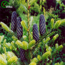 Korean Fir,Abies koreana seeds Bonsai Tree  Seeds Very Beautiful Indoor Tree Home Garden plant   50  particles / bag
