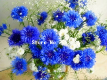 100 pcs Blue Cornflowers Germany's national flower Chrysanthemum flower seeds mini bonsai flower seeds for home garden planting