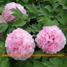Heirloom Hydrangea Plant Pink Chinese Peony Flower Seeds, 5 Seeds, Bonsai Bush Tree Paeonia suffruticosa-Land Miracle