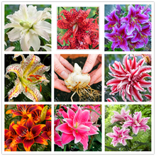 1 bulb True lily bulbs,double petals lily flower bulbs,(not lily seeds),bonsai pot flower bulbs Bulbous Root lilium plants