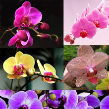 Fashion Unique 5 Color Phalaenopsis Orchid Bonsai Beautiful Adorable Butterfly Orchid seed Flower Seeds home garden Plant 200PCS(China)