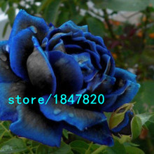 Free Shipping 100 PCS Seeds China Rare dark blue Rose Flower Rare Color Rich Aroma DIY Home Garden Rose Plant