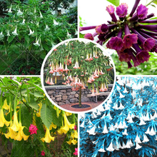 11.11 Promotion Poeetd plant Brugmansia flower Angel Trumpet fragrant Datura tree seeds garden decoration plant AA
