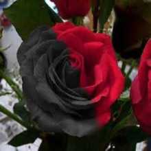 50pcs Rare Amazingly Beautiful Half black and red Rose Seeds,Rare color,Ideal DIY Home Garden Flower
