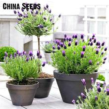 Free Shipping 100pcs Lavender Seeds herb seed garden balcony pot Four Seasons flower seeds For Indoor Plants Christmas Gift sale(China)