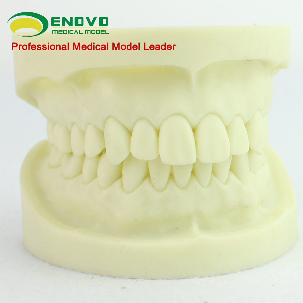 ENOVO standard white fused alumina dental model cavity preparation practice standard tooth model tooth preparation<br>