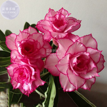 BELLFARM Adenium Whitish Light Pink Flowers with rose red edge seeds, 2 seeds, 10-layer compact desert rose flowers E4291