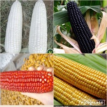 Colorful Red colors White Black corn Yellow colors Fruit maize Corn Seeds, Colorful Corn Seeds, Farm garden 10pcs w62