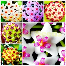 1Bag=20pcs Hot Sale Rare hoya seeds Japanese bulb EXOTIC FLOWER seeds Bonsai Cherry Tomato Organic Home & Garden free shipping