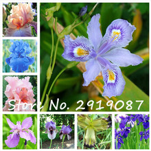 100pcs iris seeds,Iris orchid seeds,gorgeous cut flower rare orchid seeds for home garden planting,rare heirloom tectorum perenn(China)