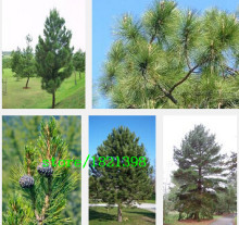Hot selling 30pcs/lot Korean Pine,Pinus seeds evergreen tree seeds plant DIY home garden free shipping(China)