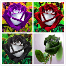 200pcs/bag Rare rose seeds special flower seeds Black Rose Flower with White Red Edge rose seed bonsai plant for home and garden