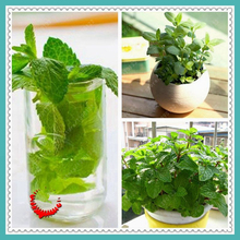100 /bag PEPPERMINT seeds, mint seed superior for herbal tea, has radioprotective effects(China)