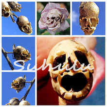 Rare Bonsai Flower Seeds The Death Rose Seeds Mysterious Plant Species of Snapdragon Flower Seed Pods Skull 100 Particles / bag