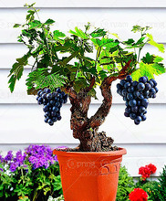 50pcs/bag Miniature Grape Vine Seeds PATIO SYRAH Vitis Vinifera Houseplant Seeds Fruit bonsai seedsfor home garden