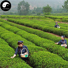 Buy Green Tea Tree Seeds 30pcs Plant Dong Ting Biluochun For Pi Luo Chun Cha(China)