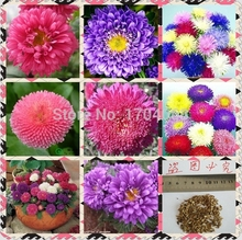 10000pcs Wholesale 100% authentic  Aster seeds flower seeds rare plants,  Bonsai  organic seeds