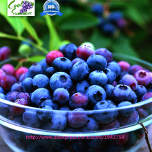 200 Seeds/pack Blueberry Seed Windowsill Garden Terrace Roof Fruit Seed potted bonsai Tree Plant Vaccinium Seed(China)