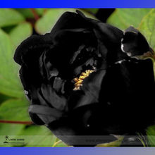 Very Rare Black Subshrubby Peony Flower Seeds, Professional Pack, 5 Seeds / Pack, Paeonia Suffruticos Garden Flower E3202