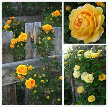 Flower Seeds100 Yellow Climbing Roses Seeds semenatsvety garden Bright and Beautiful, DIY Home bonsai , courtyard Free Shipping