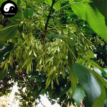 Buy Fraxinus Chinensis Tree Seeds 60pcs Plant Ash Tree For Fraxinus Bai La(China)