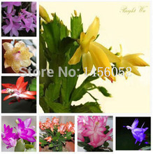 Hot selling 100pcs Schlumbergera seeds crab cactus,Potted planting,bonsai flower seeds DIY home garden free shipping