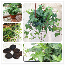 Hedera Nepalensis Seeds 2 Pcs Chinese Ivy Seeds DIY Home Garden Plants Rare Climbing Bind wood Purifying Air(China)