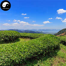 Buy Wuyi Oolong Tea Tree Seeds 120pcs Plant Wu Yi Yan Cha For Da Hong Pao(China)
