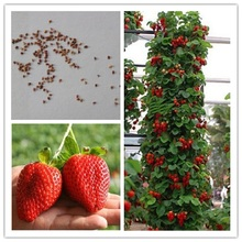 Strawberry Indoor Plants Sementes Giant Climbing Seeds Fruit For Home & Garden Diy Rare For Bonsai - 100seeds/lot(China)