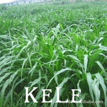 Big Promotion!!! 20 seeds/bag grass seed corn in Mexico perennial ryegrass seed alfalfa grass ,Garden Plant seeds