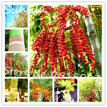 20 seeds / bag Date Palm Phoenix Dactylifera Tree Seeds Organic Sweet Delicious Red Date palm live seeds easy to grow