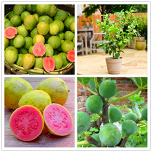 Guava Seeds Delicious Tropical Fruit seeds Non Transgenic Plants bonsai fruit tree for home garden plant pot 30 pcs/bag(China)