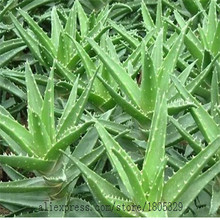 50pcs High Quality Aloe Vera seeds Rare Herbs seeds Tree Seeds Free shipping