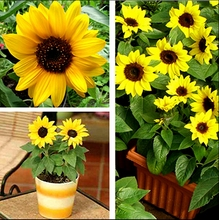10 seeds  mini sunflower seeds Dwarf sunflower seeds sunflower series height 40cm Flower Seeds