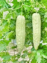 20 Thai Giant Bitter Gourds Seeds,Very Long Balsam Pear Green Organic Vegetable  Q044