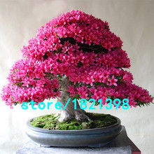 HoT Rare Bonsai Rose & Pink Azalea Seeds Looks Like Sakura Japanese Cherry Blooms Sims Azalea Flower Seeds 200PCS Free shipping