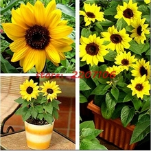 20 mini Dwarf sunflower series height 40cm Flower plant seeds easy grow Bubble bag Organic * bonsai home