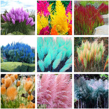 1200 PCS/package PAMPAS GRASS seeds ,rare reed flower seeds for home garden planting Selloana Seeds Garden decoration DIY!