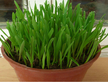 Organic wheat grass seeds, potted cat grass seeds, edible natural pollution-free cat grass seeds - 200 Seed particles  2017