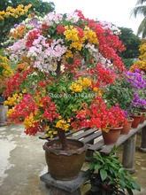 "Free Shipping 100pcs Mix-color 'Bougainvillea Spectabilis Willd"" Seeds bonsai flower plant seeds flowers flower pot planters"