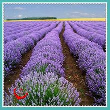 400 Pcs Purple Lavender English Seeds Fresh Aroma Romantic florid Very Beautiful Garden Plants Easy Care(China)