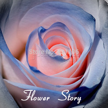 Free shipping 20 Blue and Pink Rose Seeds ,rare color ,rich aroma, DIY Home Garden Rose Plant crazy promotion(China)